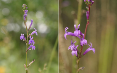 Heath Lobelia – Safeguarding special species