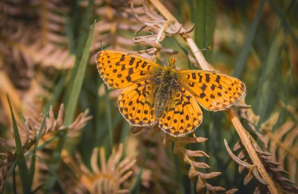 Pearl Bordered Fritillary Butterfly