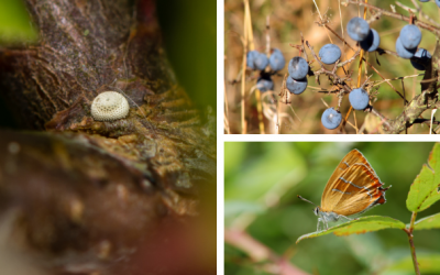 Update: Brown Hairstreak Butterfly
