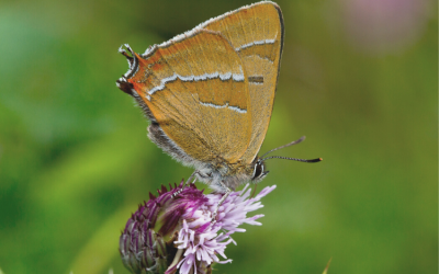 Brown Hairstreak Egg Hunt – Volunteer surveyors needed!