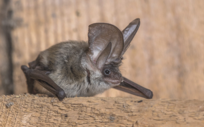 Saving the Grey Long Eared Bat