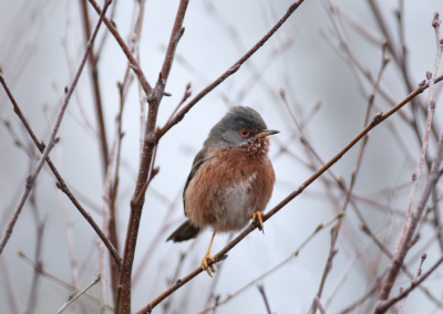 Dartford Warbler, grey brown bird, brown tree twigs