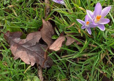 Early colour on riverside walk, brown oak leaves, green grass, purple crocus