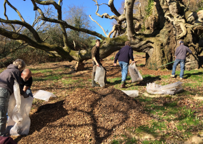 Mulching King Johns Oak - people, ancient tree, conservation