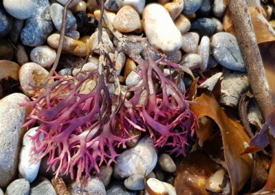 Beautiful purple coloured seaweed and pebbles found during a walk on Seaton Beach, Devon